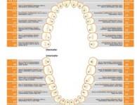 Zahn Organ Beziehung